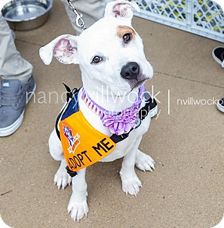 Labrador Retriever/American Pit Bull Terrier Mix Dog for adoption in Warrenville, Illinois - Gracie