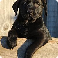 Adopt A Pet :: *Angus - PENDING - Westport, CT