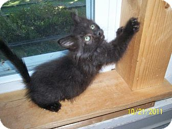 Domestic Mediumhair Kitten for adoption in New London, Iowa - Echo