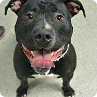 Adopt A Pet :: Batman - Troy, MI