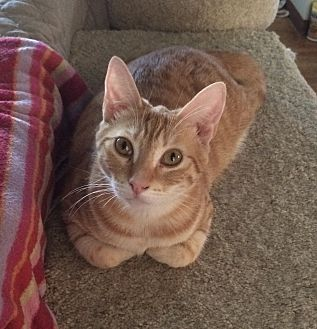 Domestic Shorthair Cat for adoption in San Diego, California - Grace
