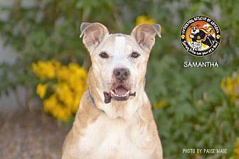 Shepherd (Unknown Type)/Boxer Mix Dog for adoption in Chandler, Arizona - SAMANTHA