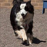 Border Collie Dog for adoption in Evansville, Indiana - Champ