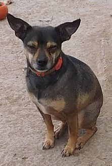 Terrier (Unknown Type, Medium) Mix Dog for adoption in Pipe Creek, Texas - Jake