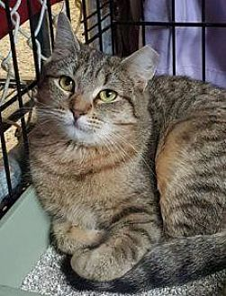 Domestic Shorthair Cat for adoption in Freeport, New York - Beauty