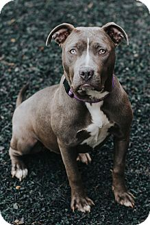 Pit Bull Terrier Mix Dog for adoption in Indianapolis, Indiana - Dasha