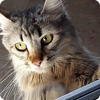 Domestic Mediumhair Cat for adoption in Minot, North Dakota - Maui