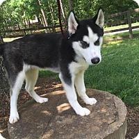 Adopt A Pet :: Dakota - Roswell, GA