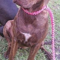 Adopt A Pet :: Tootsie - Jacksonville, NC