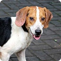 Beagle Mix Dog for adoption in Norfolk, Virginia - SCOOTER JOE
