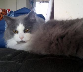 Domestic Longhair/Domestic Shorthair Mix Cat for adoption in THORNHILL, Ontario - LORELAI (BONDED WITH RORY)