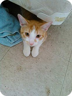 American Shorthair Cat for adoption in Golsboro, North Carolina - Colby