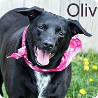 Adopt A Pet :: Olivia - Hamilton, MT