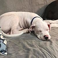 Adopt A Pet :: Huey - Baltimore, MD