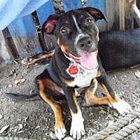 Adopt A Pet :: Porkchop in TEXAS - Hagerstown, MD