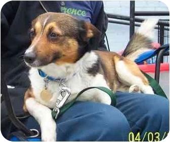 Corgi/Beagle Mix Dog for adoption in West Los Angeles, California - Dexter
