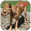 Photo 3 - Chihuahua Mix Puppy for adoption in Gilbert, Arizona - Lola