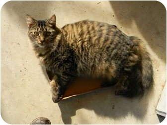 Domestic Shorthair Kitten for adoption in Bay City, Michigan - Dakota