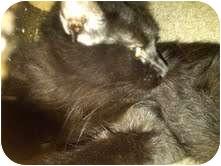 Domestic Mediumhair Cat for adoption in Medina, Ohio - Marie