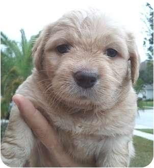 Goldendoodle/Field Spaniel Mix Puppy for adoption in Orlando, Florida - Escobar#1M