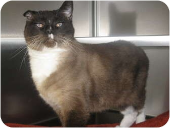 Siamese Cat for adoption in Norwalk, Ohio - Summer