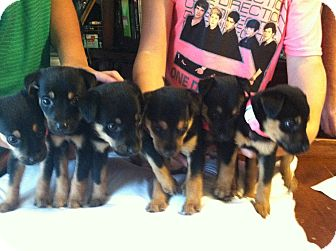 Rottweiler Mix Puppy for adoption in Jarrettsville, Maryland - Puppy #1