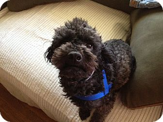 Poodle (Miniature) Mix Dog for adoption in Gustine, California - DOLCHE