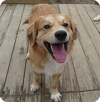 Golden Retriever/Collie Mix Dog for adoption in Cincinnati, Ohio - Casey