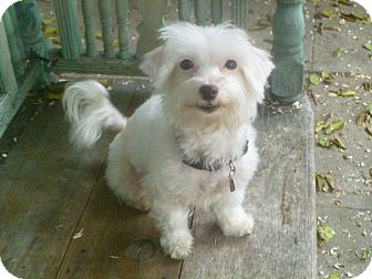 Maltese Mix Dog for adoption in Los Angeles, California - Daisy Mae