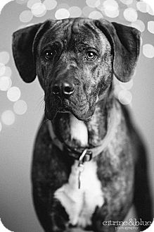 Plott Hound/Mastiff Mix Dog for adoption in Portland, Oregon - Darren