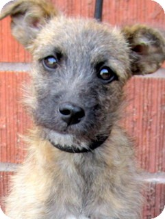 Terrier (Unknown Type, Small) Mix Puppy for adoption in Los Angeles, California - Monkey *VIDEO*