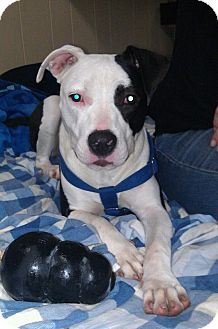 American Pit Bull Terrier Mix Dog for adoption in Clarksburg, Maryland - Lana