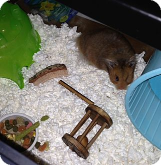 Hamster for adoption in Bensalem, Pennsylvania - Harvey