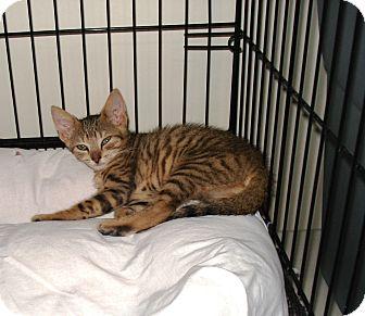 Domestic Shorthair Kitten for adoption in Speonk, New York - Jediah