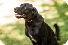 Labrador Retriever Mix Dog for adoption in Lewisville, Indiana - Briley