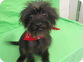 Affenpinscher/Brussels Griffon Mix Puppy for adoption in Culver City, California - Bentley