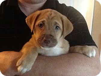 Labrador Retriever Mix Puppy for adoption in Glenburn, Maine - Tyra-pending