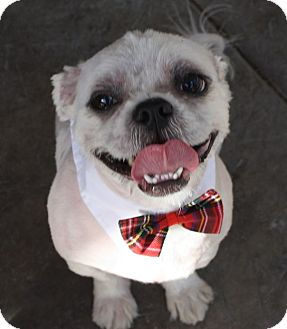 Lhasa Apso/Shih Tzu Mix Dog for adoption in Henderson, Nevada - Norman