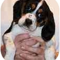 Adopt A Pet :: Cappuccino - Portland, OR