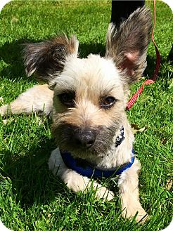 "Norwich Terrier/Wirehaired Fox Terrier Mix Dog for adoption in Seattle, Washington - ""Grommet"""