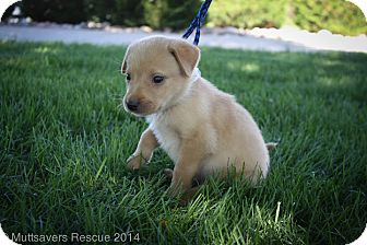 Retriever (Unknown Type) Mix Puppy for adoption in Broomfield, Colorado - Jimmy John