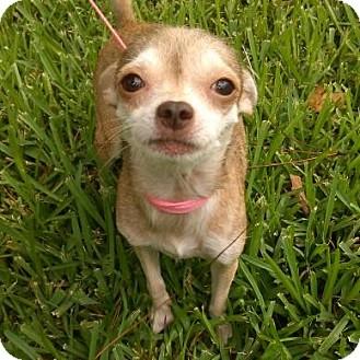 Chihuahua Mix Dog for adoption in Houston, Texas - CHISPITA