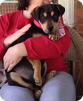 Labrador Retriever/Rottweiler Mix Puppy for adoption in Huntsville, Alabama - Abby