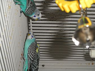 Parakeet - Other for adoption in Neenah, Wisconsin - Parakeets