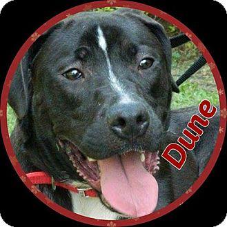 Great Dane/Labrador Retriever Mix Dog for adoption in Newnan, Georgia - Dune