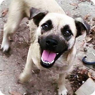 Pug/Labrador Retriever Mix Dog for adoption in Eden Prairie, Minnesota - Olive