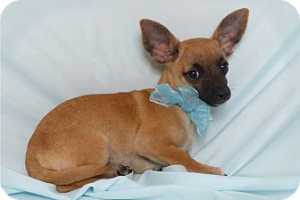 Chihuahua Mix Puppy for adoption in Kerrville, Texas - Bandit