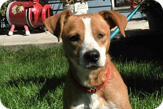 Labrador Retriever/Beagle Mix Dog for adoption in St. Charles, Illinois - Joey