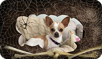 Chihuahua Mix Dog for adoption in San Antonio, Texas - Blue