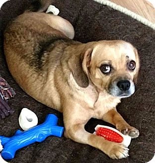 Pug/Beagle Mix Dog for adoption in Tijeras, New Mexico - Peaches